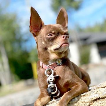 Small Dog Collar (No Elastic)