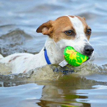 dog in a blue collar in the water with a green ball