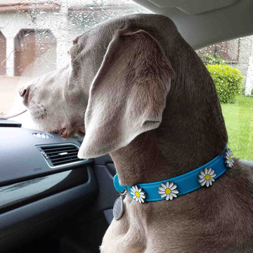 turquoise waterproof hydro collar with daisys