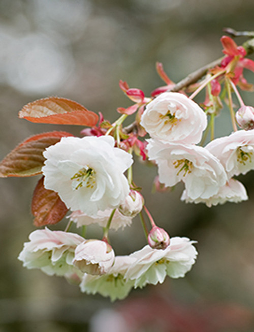 MIN11522 - Cherry Blossom (1 blank minicard)~