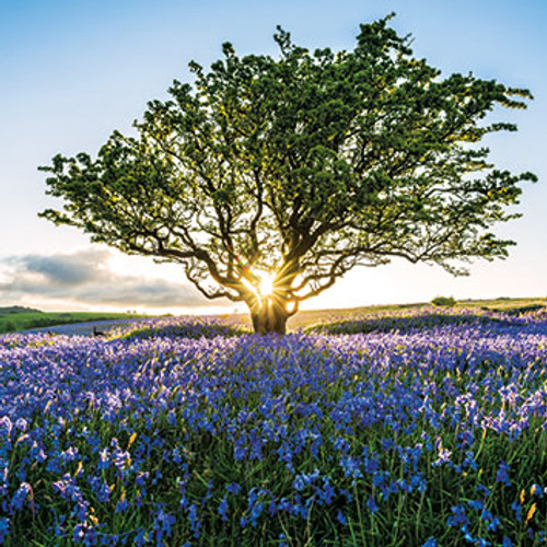 SM14034 - Sunburst and Bluebells (1 blank card)