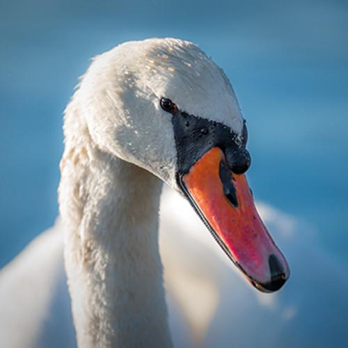 SM14080 - Mute Swan (1 blank card)~
