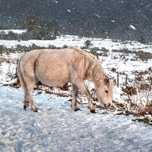 SM14082 - Moorland Pony, Falling Snow (1 blank card)~