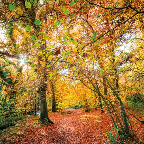 SM14099 - Sunlit Woodland Walk (1 blank card)