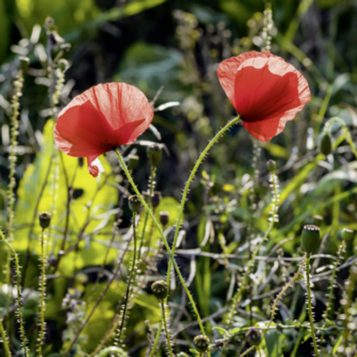 E10622 - Two Poppies (1 blank card)~