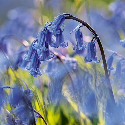 E10623 - Bluebells (1 blank card)~