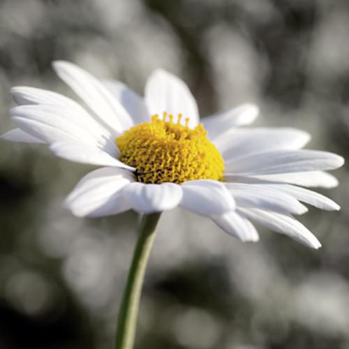 E10624 - Daisy (1 blank card)~