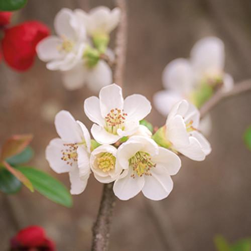 E10642 - Quince Blossom (1 blank card)~