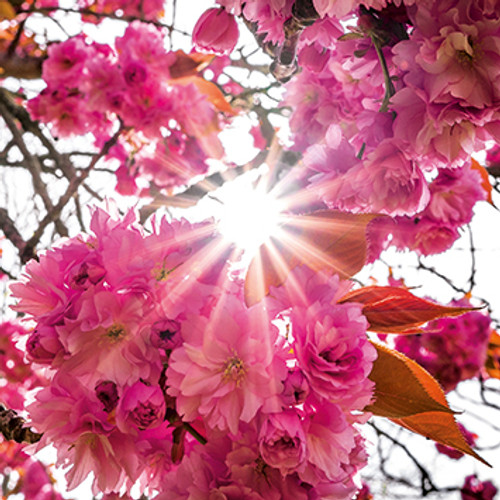 E10644 - Ornamental Cherry Blossom (1 blank card)~