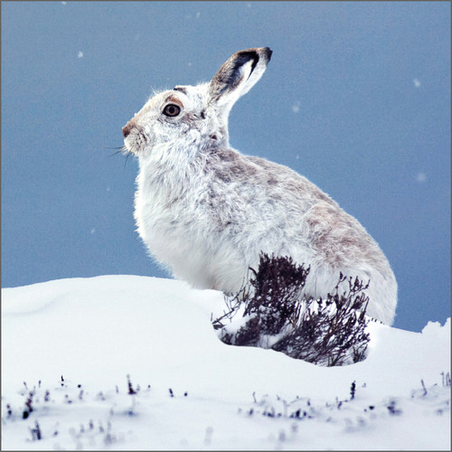 TWT91164 - Mountain Hare (1 pack of 8 charity Christmas cards)
