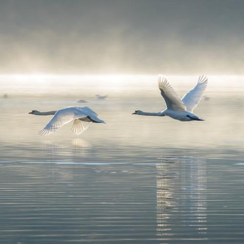 WT91352 - Mute Swans in Flight (1 blank card)~