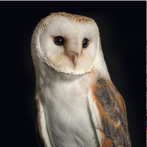 WT91856 - Barn Owl (1 blank card)-