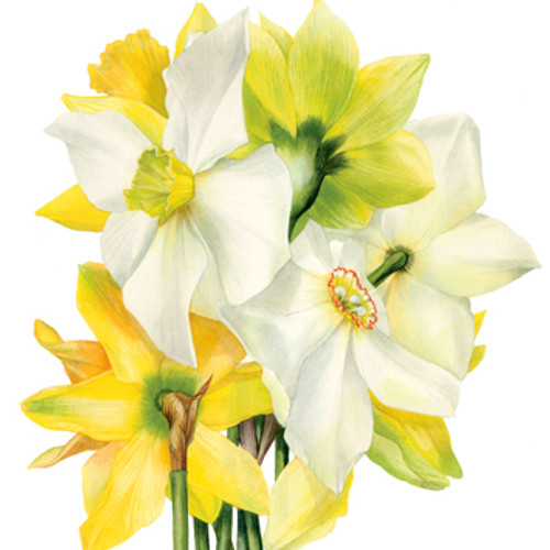 BS77412 - Narcissi (1 blank card)