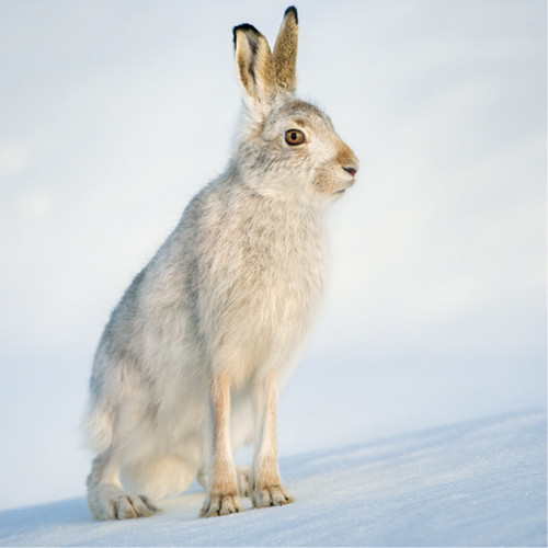 TWT91150 - Mountain Hare (1 pack of 8 charity Christmas cards)
