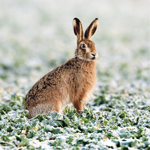 TWT91154 - Brown Hare (1 pack of 8 charity Christmas cards)