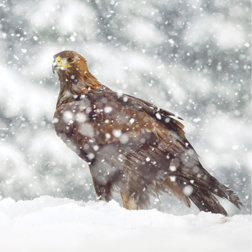 TWT91156 - Golden Eagle (1 pack of 8 charity Christmas cards)
