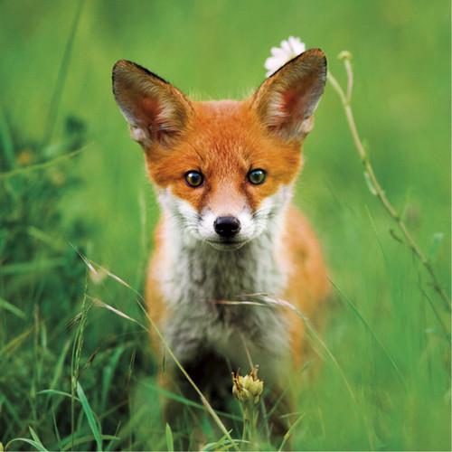 WT91373 - Red Fox (1 blank card)