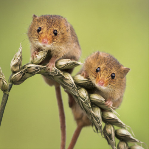 WT91381 - Harvest Mice (1 blank card)