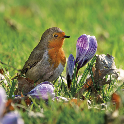 WT91383 - Robin and Crocus (1 blank card)