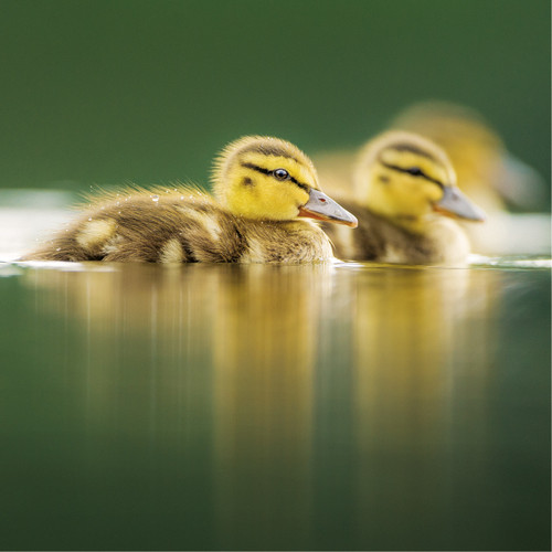 WT91386 - Mallard Ducklings (1 blank card)~