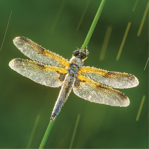 WT91388 - Four-spotted Chaser (1 blank card)