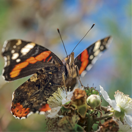 WT91389 - Red Admiral (1 blank card)~