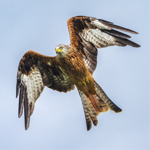 WT91393 - Red Kite (1 blank card)