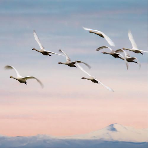 WT91395 - Whooper Swans (1 blank card)~