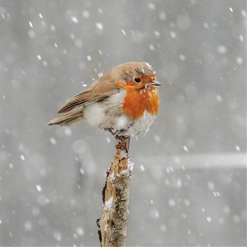 SM14146 - Robin in Falling Snow (1 blank card)