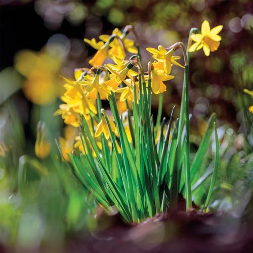 SM14163 - Daffodils (1 blank card)