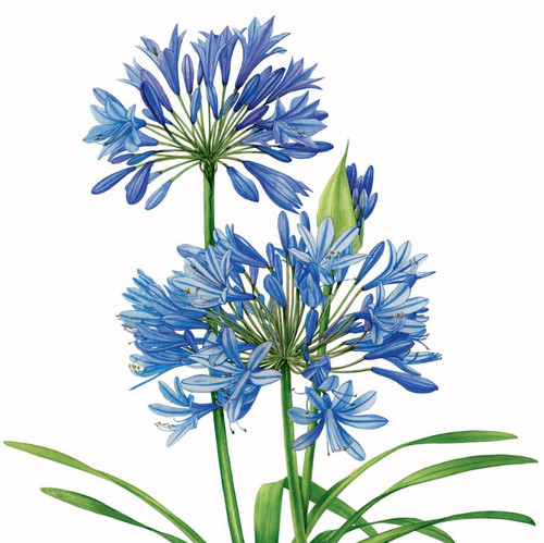 BS77860Y - Agapanthus (1 thinking of you card)