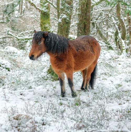 SM14147 - Moorland Pony (1 blank card)