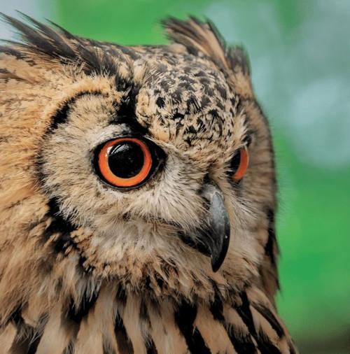 SM14168 - Eagle Owl (1 blank card)