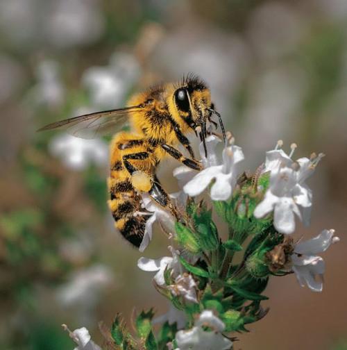 SM14172 - Honey Bee (1 blank card)