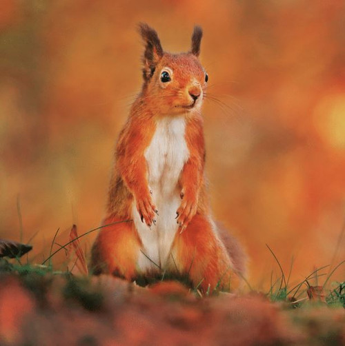 WT91402 - Red Squirrel (1 blank card)-