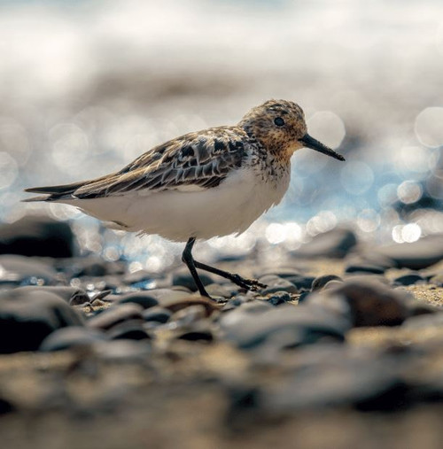 WT91403 - Sanderling (1 blank card)