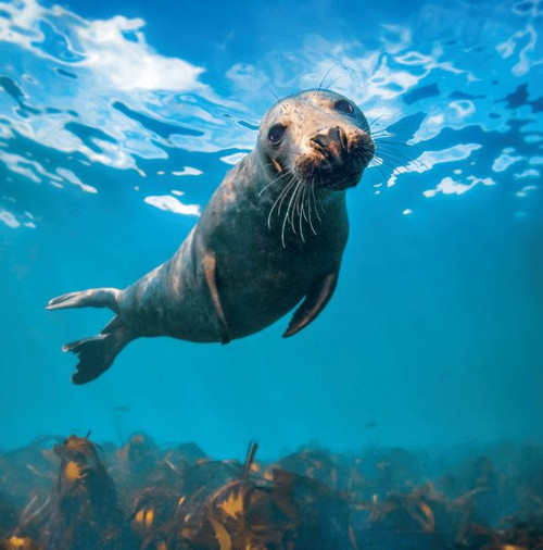 WT91405 - Grey Seal (1 blank card)