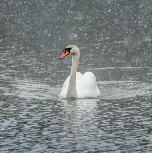 WT91406 - Swan in Falling Snow (1 blank card)