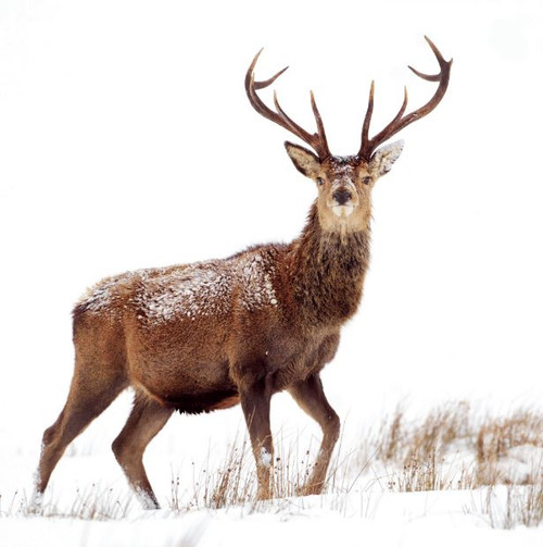 WT91408 - Winter Stag (1 blank card)