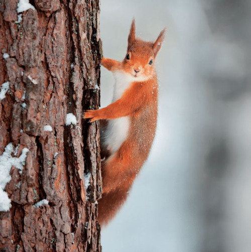 WT91410 - Red Squirrel (1 blank card)-