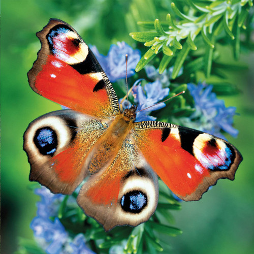 SM14177 - Peacock Butterfly (1 blank card)