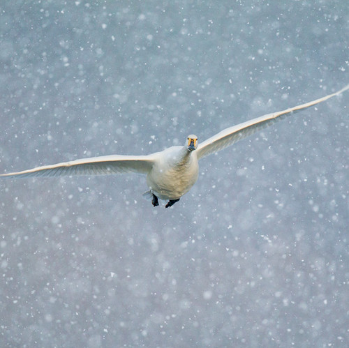 TWT91137 - Whooper Swan (1 pack of 8 charity Christmas cards)