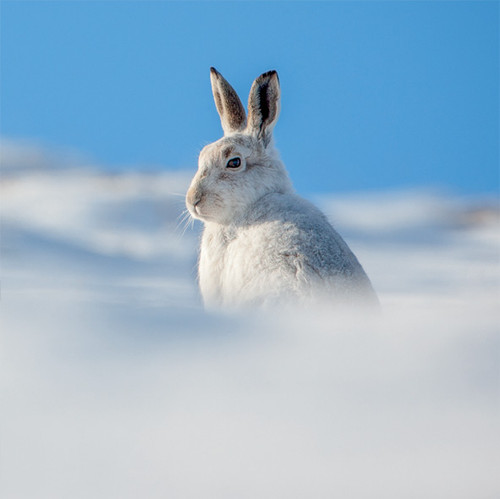 TWT91141 - Mountain Hare (1 pack of 8 charity Christmas cards)
