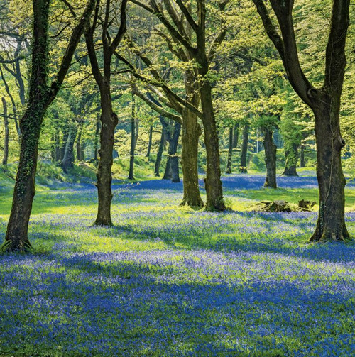 SM14202 - Bluebell Wood (1 blank card)