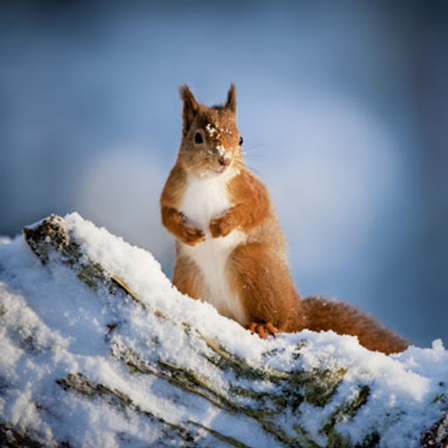 WT91325 - Red Squirrel (1 blank card)~