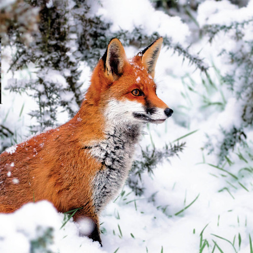 TWT91120 - Red Fox (1 pack of 8 charity Christmas cards)