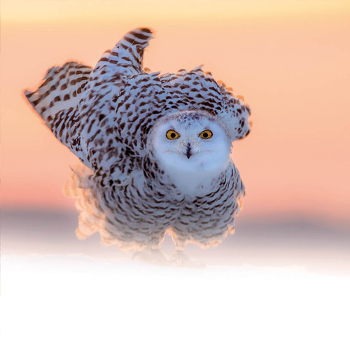 TWT91121 - Snowy Owl (1 pack of 8 charity Christmas cards)
