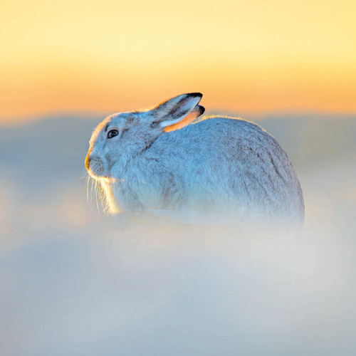 TWT91124 - Mountain Hare (1 pack of 8 charity Christmas cards)