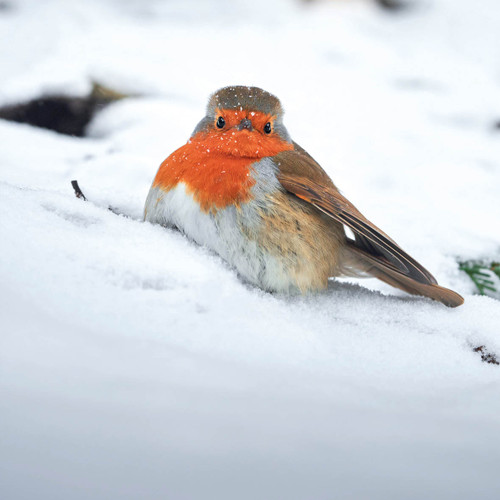 TWT91125 - Surprised Robin (1 pack of 8 charity Christmas cards)-
