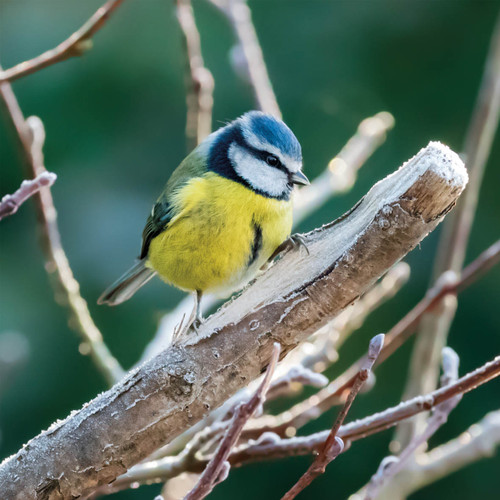 TWT91126 - Blue Tit and Frost (1 pack of 8 charity Christmas cards)-